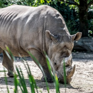 A new indoor habitat for the white rhinoceros!