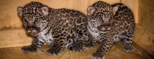 Birth of two jaguar cubs