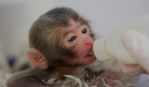 Birth by caesarian of a japanese macaque
