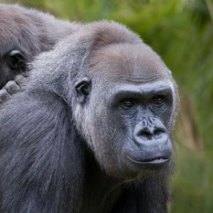 To the rescue of gorillas and elephants