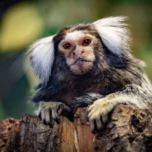 Enrichment of marmosets